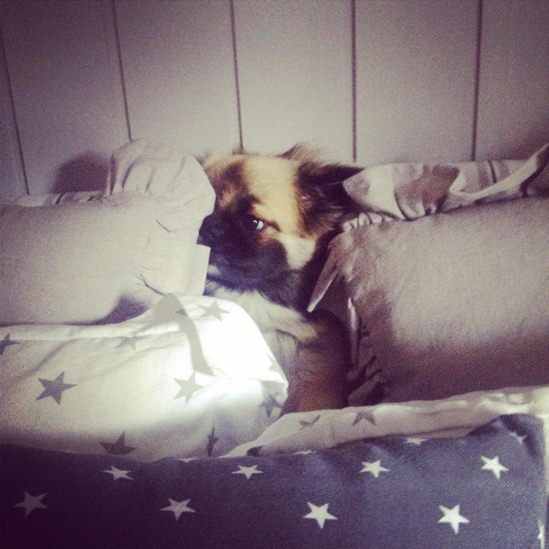 Happy elsker å ligge i sengen (kremt) så her prøver hun å gjemme seg bak hodeputene
