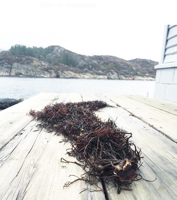 Kunst av tang ~ denne har sjøen hevet opp på kaien etter en springflo, som e ganske ofte her~ bordet har Fredrik laget IG det blir bare finere og finere i treet